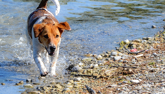 Blue-Green Algae Poisoning: Summer Perils for Dogs—Cyanotoxin Poisoning