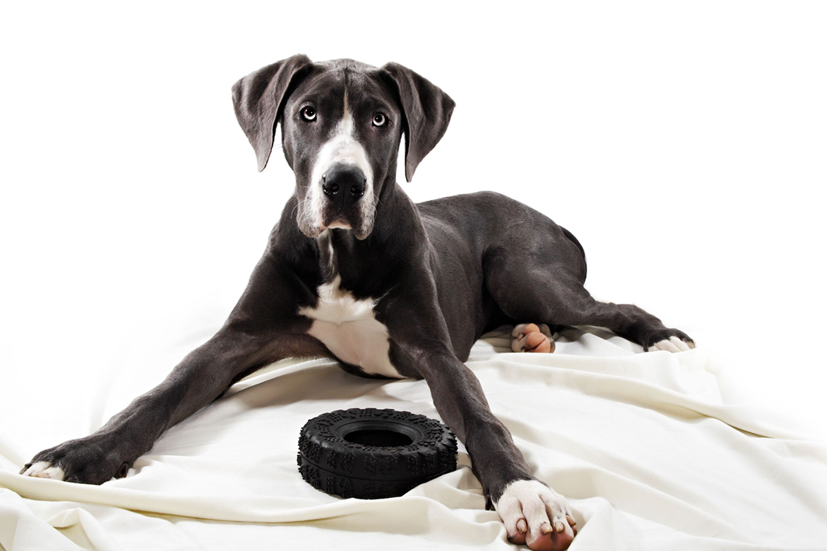 Dog Knee Injuries: Why The Second CCL Often Goes Too