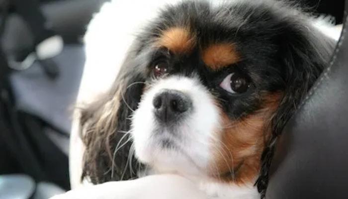 What Is Syringomyelia in Dogs: Teddy's Story