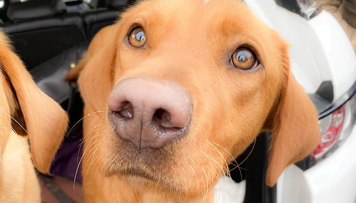 Dog CCL Injury Diagnosis: Is There Such a Thing As A False Positive Drawer Sign?