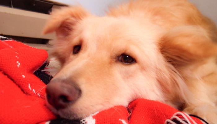 Types of Canine Splenic Tumors: Are Splenic Tumors Always Malignant?