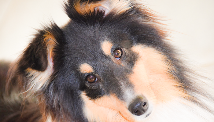 Canine Blood Tests: What's In The Blood—Blood Testing And Interpretation