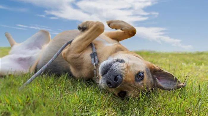 Hemangiosarcoma in a Dog: Fast Decline—Joey's Hemangiosarcoma