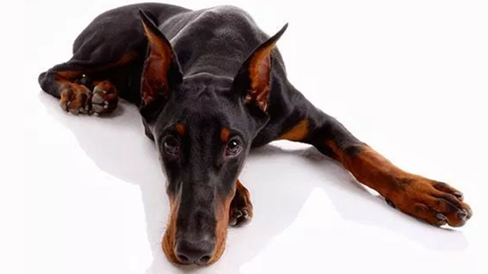 Euthyroid Sick Syndrome in Dogs: When Is Hypothyroidism not Hypothyroidism?