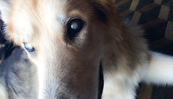 Sight Loss in a Dog: My Dog Can't See, But She Isn't Blind ... To Our Love—Cleo's Story