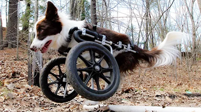 Canine Wheeled Carts: Mobility Aids – Wheelchairs for Dogs