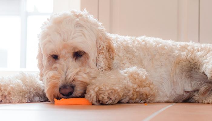 A Primer On Cushing's Disease: What is Cushing's Disease in Dogs?