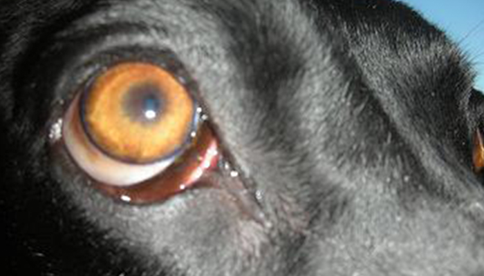 Extraocular Myositis In Dogs: The Whites Of My Dog's Eyes Are Swollen