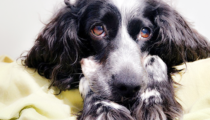 A Primer on Liver Cancer in Dogs