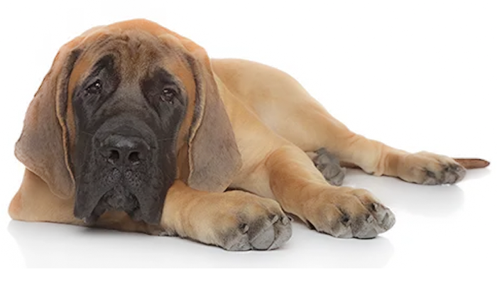 Canine Histiocytic Sarcoma: Elly's Story