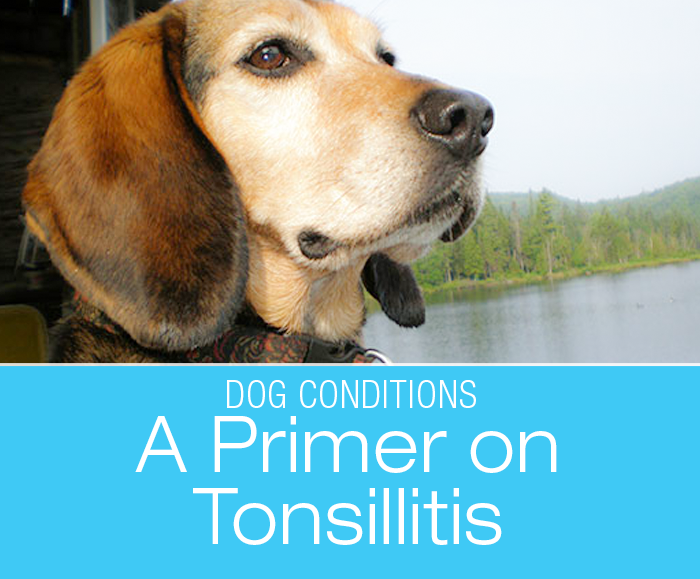A Primer on Tonsillitis in Dogs