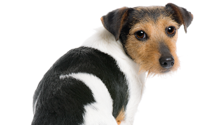 A Primer on Flatulence in Dogs: Why Does My Dog Have Gas?