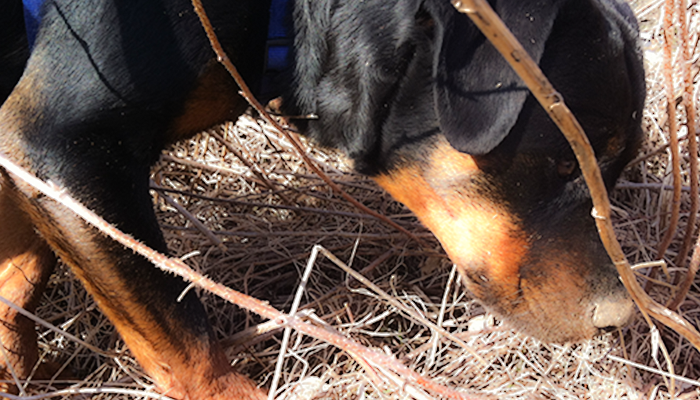 Assessing Lameness in Dogs: Measuring Leg Circumference—Cookie's PRP Treatment for Partial Cruciate (CCL/ACL) Tear and Leg Circumference