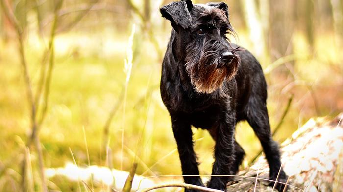 Shifting Lameness in Dogs: Is It Always Lyme Disease?
