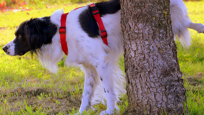 Stinky Urine in Dogs: Why Does My Dog's Pee Smell Bad?