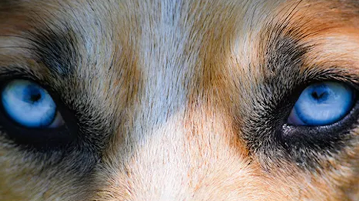 Causes of Cloudy Eyes in Dogs: What's Happening To My Dog's Eyes?