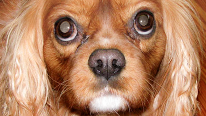 Fatigue in Dogs: Razzle Goes Listless. What Would You Do If It Was Your Dog?