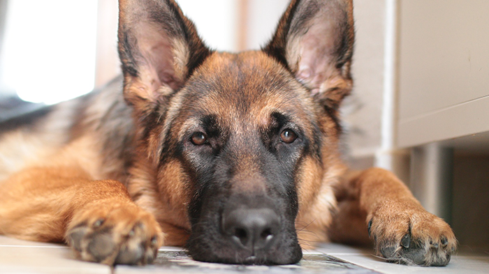 Unexplained Weight Loss in GSDs: Beaner's Weight Loss. What Would You Do if It Was Your Dog?