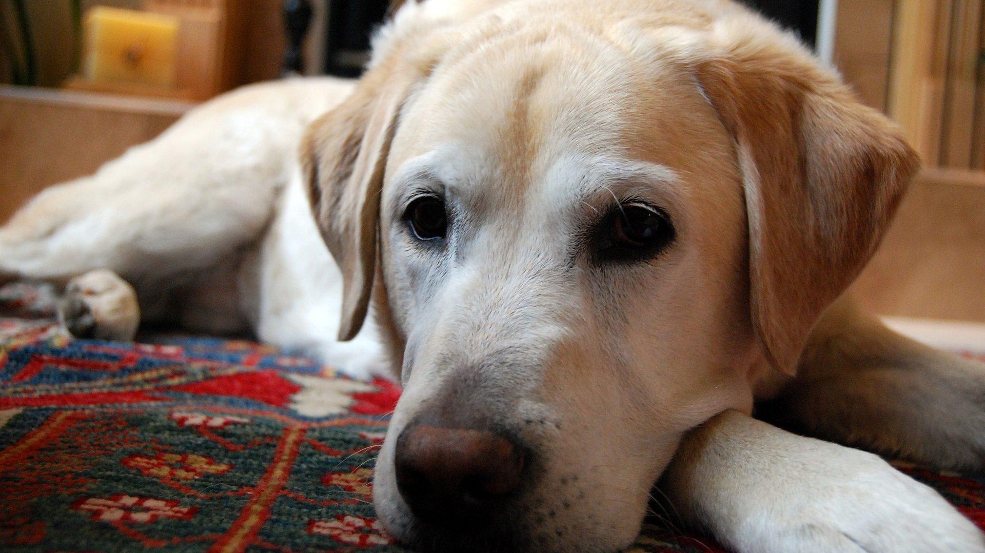 Laryngeal Paralysis in Dogs: Jake's Laryngeal Paralysis