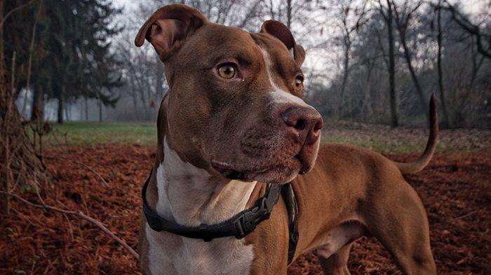 Retrobulbar Abscess in Dogs: Holly's Bulging Eye