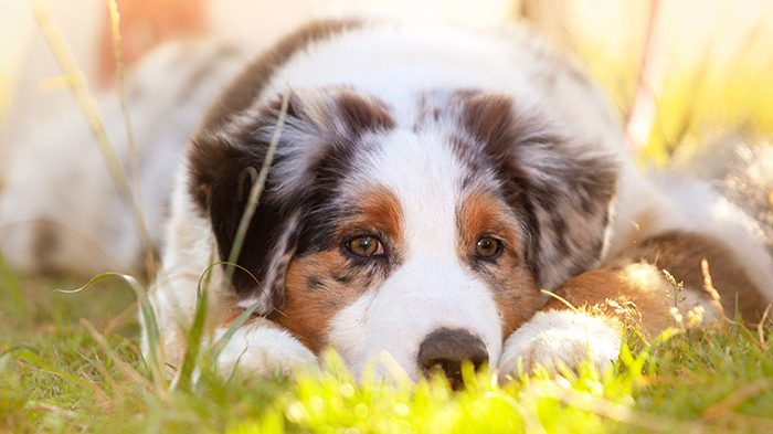 Lameness and Lethargy in Dogs: Tosha's Hind Leg Limp: What Would You Do if It Was Your Dog?
