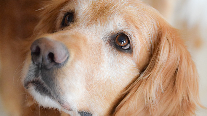 Diet-associated DCM in Dogs: Veterinarians Share Their Thoughts
