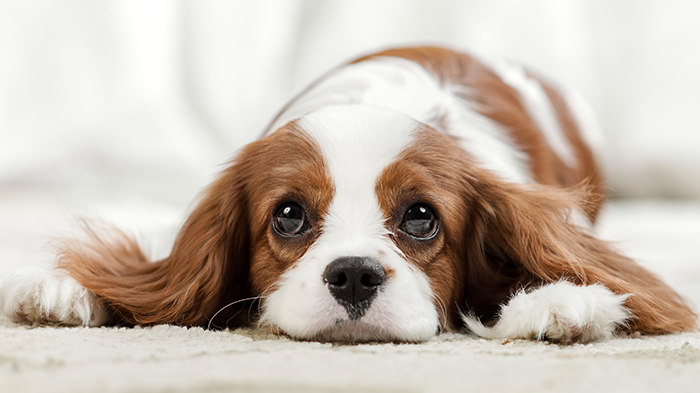 Masticatory Myositis in Dogs: Ginger's Painful Mouth