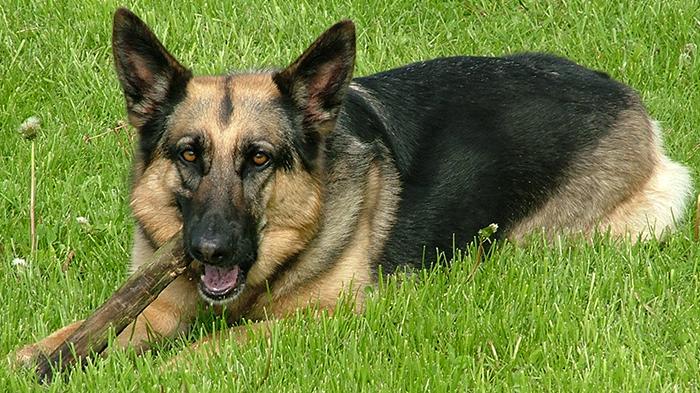 Canine Splenic Tumors: Walks Like A Splenic Tumor, Quacks Like A Splenic Tumor … It Must Be A UTI?