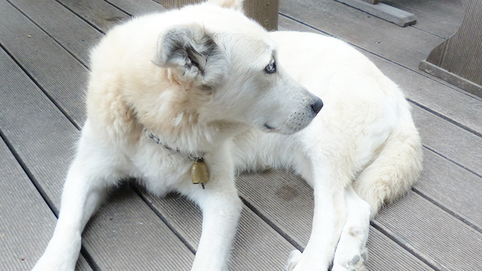 Pale Gums in a Dog: Bailey's Story—What Would You Do if It Was Your Dog?