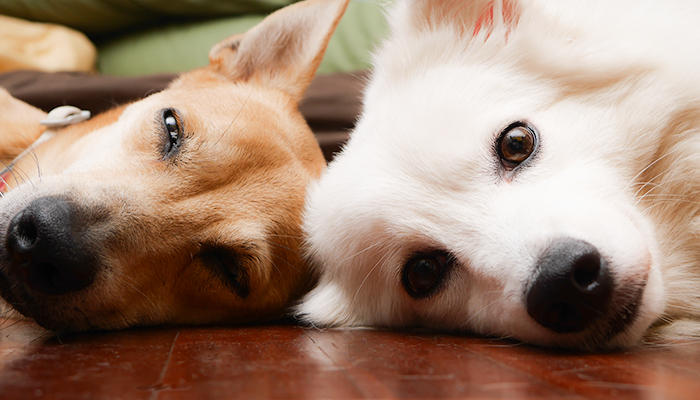 Itchiness in Housemate Dogs: Two Dogs Living in the Same Home Get Itchy