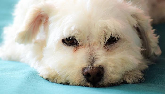 Canine Cystitis: Cassie's Bladder Inflammation
